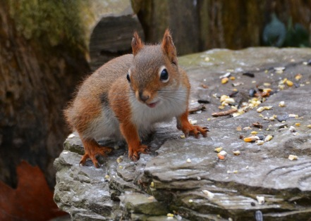 RedSquirrelStub13Nov15#1746E4c5x7