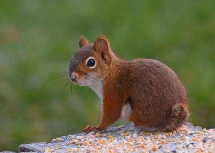redSquirrelStub22Nov15#1820E4c5x7