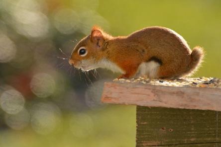 RedSquirrelStub24Nov15#1841E2c4x6