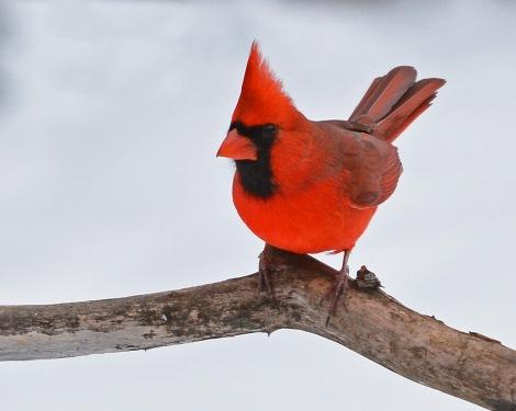 Cardinal18Jan16#3585E2c5x7