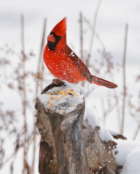 Cardinal30Jan16#4435E4c8x10