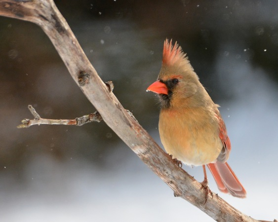 Cardinal30Jan16#4446E2c8x10