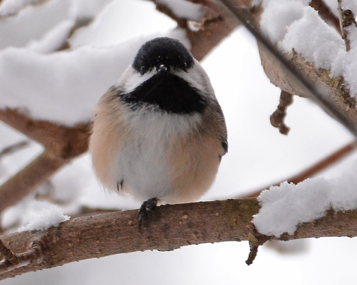 Chickadee19Jan16#3603E2c8x10