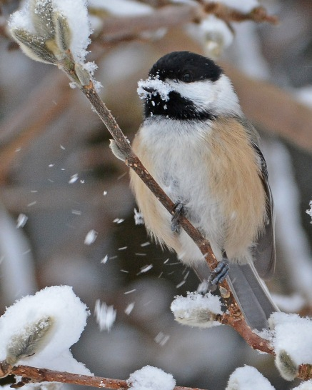 Chickadee19Jan16#3681E2c8x10