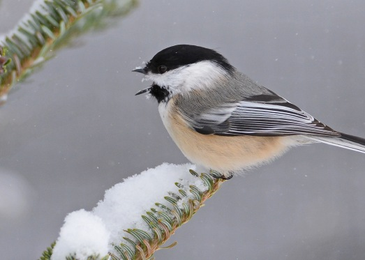 Chickadee19Jan16#3733E2c5x7