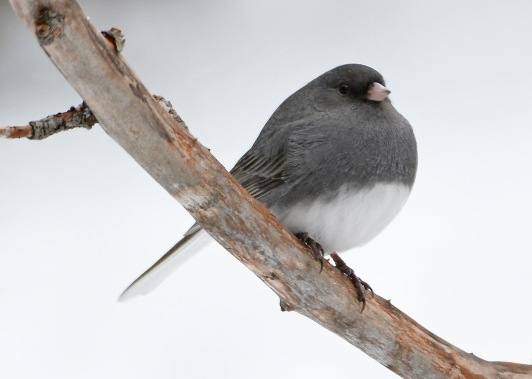 Junco27Jan16#4229E2c5x7