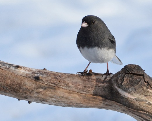 Junco27Jan16#4258E3c8x10_edited-1