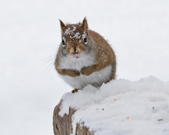 RedSquirrelStub13Jan16#3383E2c8x10