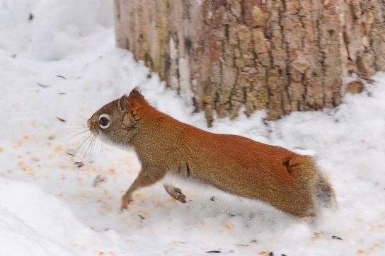 RedSquirrelStub22Jan16#3937E2c4x6