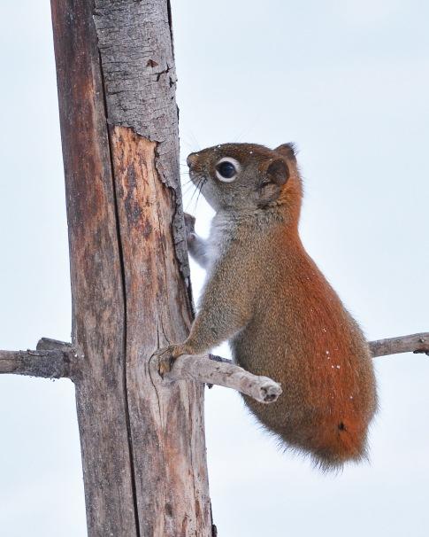 RedSquirrelStub5Jan16#2877E3c8x10