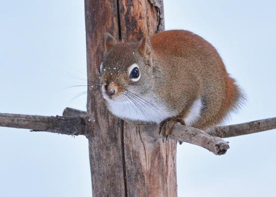 RedSquirrelStub5Jan16#2882E3c5x7