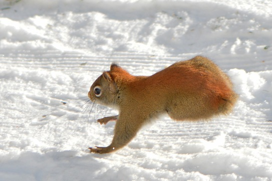 RedSquirrelStub6Jan16#2945E3c4x6