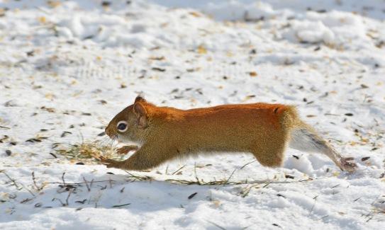 RedSquirrelStub8Jan16#3121E4c3x5