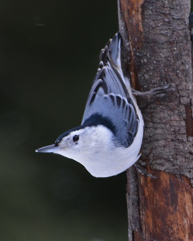 WBNuthatch27Jan16#4232E3c8x10