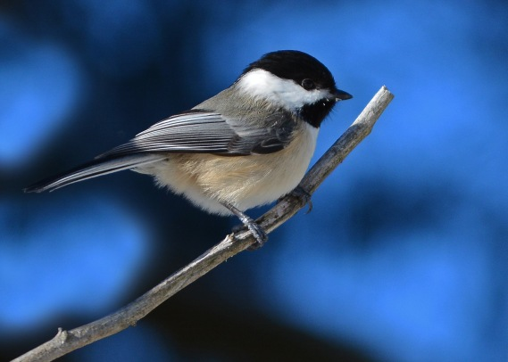 Chickadee18Feb16#5500E5c5x7