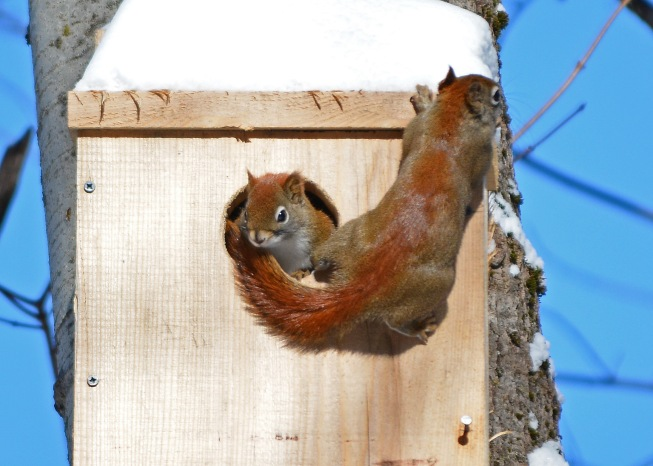 RedSquirrelsOwlBox14Feb16#5218E4c5x7