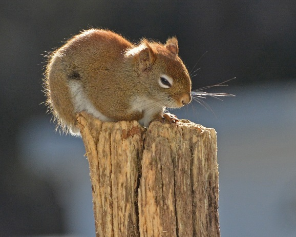 RedSquirrelStub23Feb16#5678E2c8x10