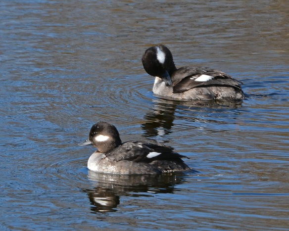 Buffleheads29Feb16#6052E2c8x10