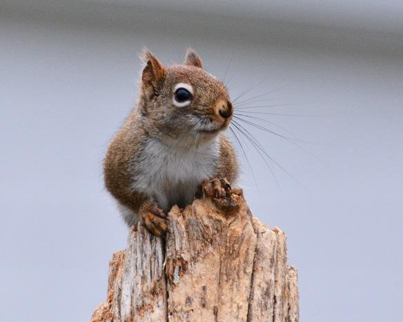 RedSquirrelStub15Mar16#6943E2c8x10