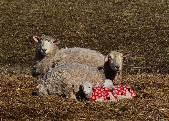 Sheep12Mar16#6839E2c5x7