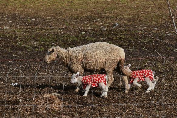 Sheep13Mar16#6872E2c4x6