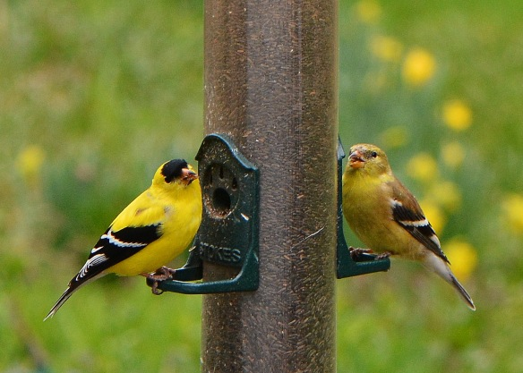 Goldfinches29Apr16#9696E5c5x7