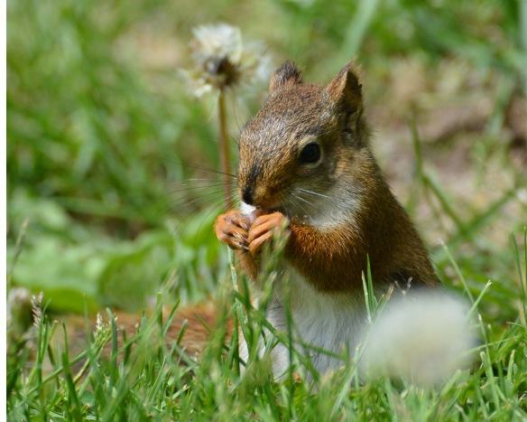 RedSquirrelJuv24May16#1568E2c8x10