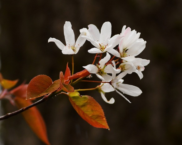 Serviceberry6May16#0029E2c8x10