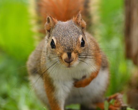 RedSquirrel13June16#0167E2c8x10