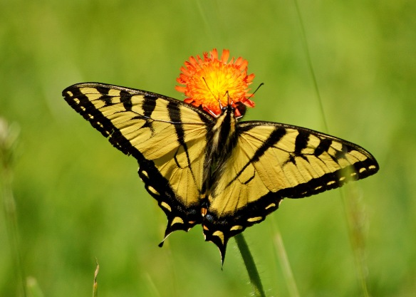 TigerSwallowtail10June16#0025E6c5x7