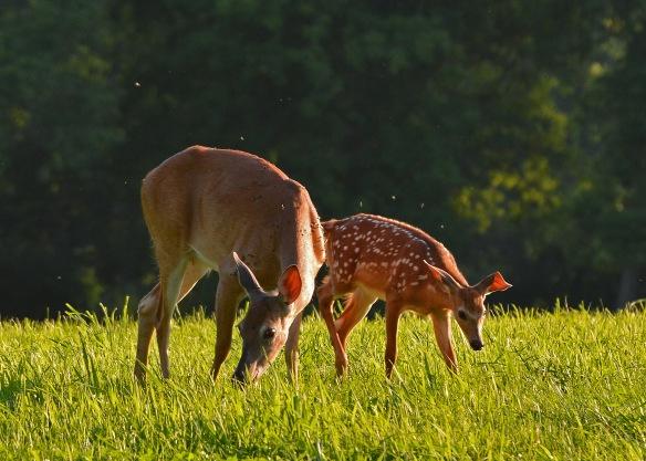 Deer22July16#2398E2c5x7