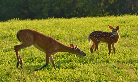Deer22July16#2418E2c3x5