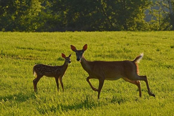 Deer22July16#2430E2c4x6