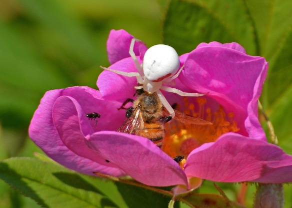 FlowerSpiderSwampRose13July16#1924E6c5x7_edited-1