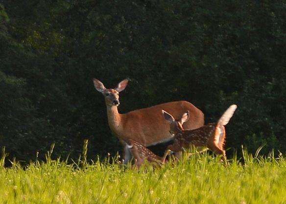 Deer4Aug16#3097E2c5x7