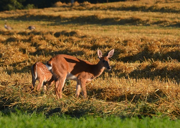 DeerStraw8Aug16#3317E2c5x7