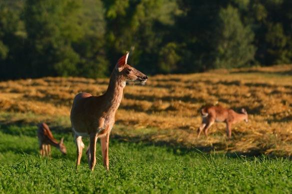 DeerStraw8Aug16#3325E2c4x6