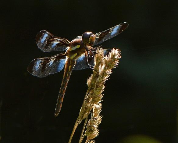 Dragonfly27Aug16#4167E2c8x10