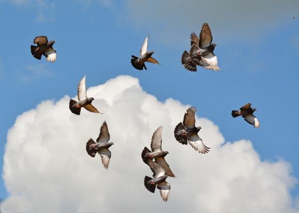 Pigeons26July16#2624E6c5x7