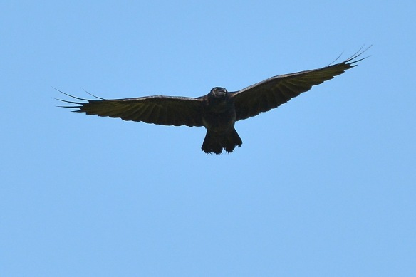 crow28sept165796e2c4x6