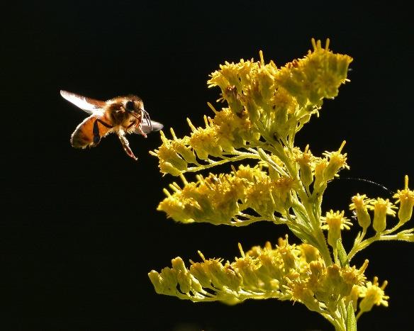 HoneyBee3Sept16#4673E2c8x10