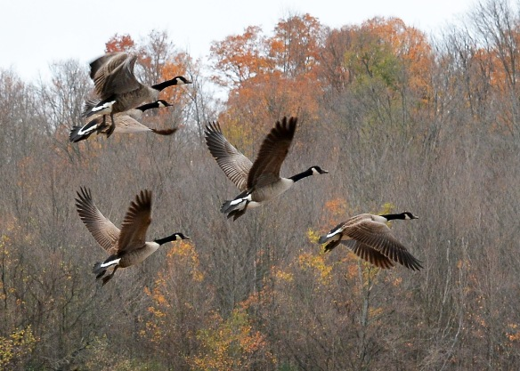 geese25oct167264e3c5x7