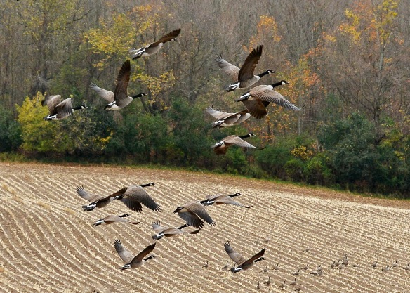 geese25oct167265e2c5x7