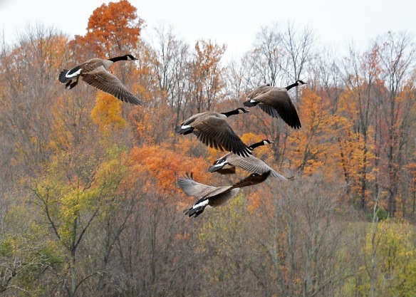 geese25oct167267e3c5x7