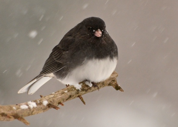junco15dec168530e2c5x7