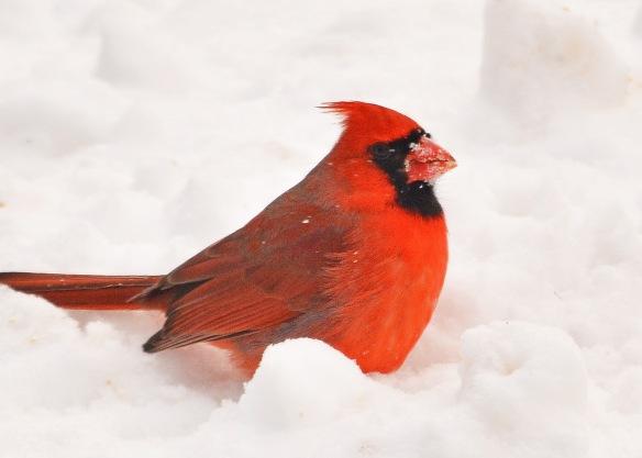 cardinal3feb170165e2c5x7
