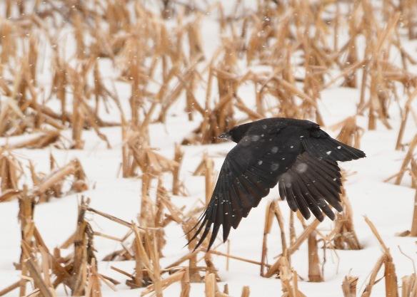 crow31jan170031e2c5x7