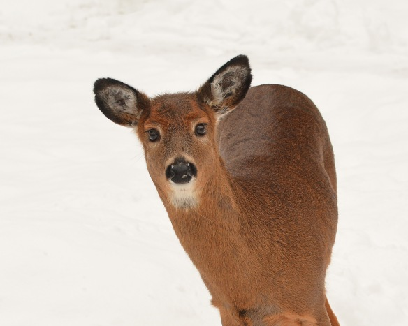 deer11feb170565e2c8x10