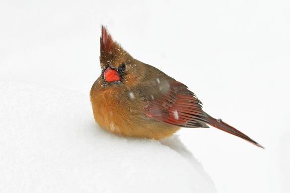 Cardinal14Mar17#2684E5c4x6