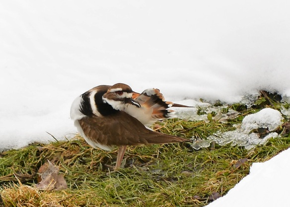 Killdeer18Mar17#3789E3c5x7